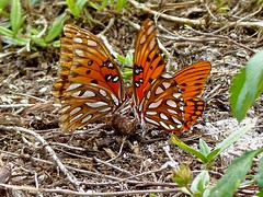 Two Gulf Fritillaries (WRFred) Tags: florida nature wildlife butterfly loxahatcheenwr