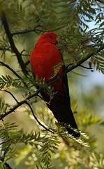 Keeping  a careful watch (rankenhohn59) Tags: parrot bird animal australian native woodland garden nature