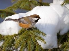 Boreal Beauty (Doug Scobel) Tags: boreal chickadee poecile hudsonicus saxzimbog sax zim bog forest northern wild bird winter wildlife spruce snow