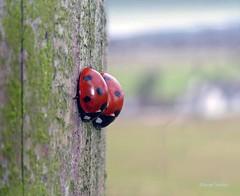 February Ladybirds1 (g crawford) Tags: ladybird ladybirds ladybug ladybugs insect red spots coccinellaseptempunctata beetle crawford westkilbride ayrshire northayrshire macro tz60
