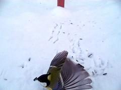 Lehvik (Retked) Tags: linnukaamera rasvatihane tihane lehvik lind talv loodusblogi loodusgiid
