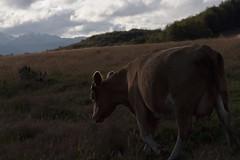 Coyhaique y alrededores (Christopher León Vilches) Tags: paisajes lugares vaca austral patagonia coyhaique balmaceda chile aysen
