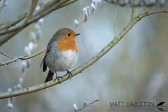 Robin (Matt Hazleton) Tags: robin erithacusrubecula bird wildlife nature animal outdoor northamptonshire canon canoneos7dmk2 canon100400mm eos 7dmk2 100400mm matthazleton matthazphoto