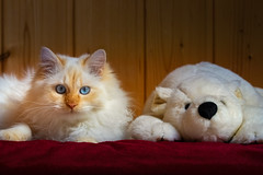 Polar Bears (FocusPocus Photography) Tags: tofu dragon katze kater cat chat gato tier animal haustier pet anton eisbär polarbear decke blanket freunde friends