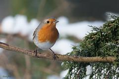 Encore moi (Lisbeth Gasser) Tags: oiseaux rougegorge wildlife arbre bird bois