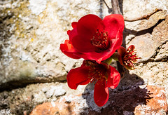 Muurbloempje/ Wall flower (truus1949) Tags: bloemen lente muur natuur