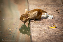 Baby macaque drinking from polluted waters of Galtaji, Monkey Temple, India (Catherine Gidzinska and Simon Gidzinski) Tags: 2018 chanakyapuri galtaji galwarbagh hindutemple india jaipur monkeytemple november rajasthan sitaramji animal babymonkey civilisation drinking garbage gidzinska gidzinski grainconnoisseur kunds nature planet plastic polluted pollution rhesusmacaque rubbish savetheplanet trash water watertank planetplastic