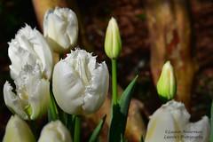 Feathered blossoms (lauren3838 photography) Tags: laurensphotography lauren3838photography flower tulip blossom white garden atlanta atlantabotanicalgarden botanical nikon texture d750 spring nature ilovenature georgia colors dof