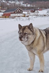 Tussi (Alexis Kaylen) Tags: dog grey doggo norwegian elkhound norwegianelkhound cute bitch norway snow winter