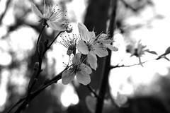 Spring Black and white blossom 11/365 B (7 Blue Nights) Tags: blackandwhite flower flowers blossom throughherlens backlight bw spring monochrome mono crazytuesday