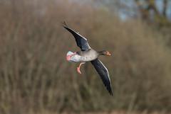 Greylag -8502680 (seandarcy2) Tags: bif birds wild wildlife greylag goose cambs uk