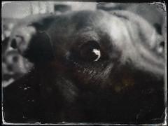 Tintype testing (aixcracker) Tags: dog hund koira eye öga silmä staffi staffie staffordshire bullterrier