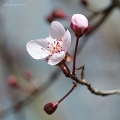 beauty (photos4dreams) Tags: blutpflaume blossom blüte blüten blossoms spring frühling rosa pink photos4dreams p4d photos4dreamz photos photo pics purpleleafplum 2018 canoneos5dmark3 canoneos5dmarkiii ©photos4dreams
