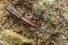 Rhaphirhyncus spec. (www.endlessfields.ch) Tags: costa rica wildlife costarica nature wildlifephotography sony sonya6500 amazing brilliant jungle forest naturephotography animal weevil brentidae coleoptera