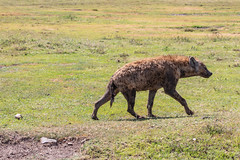 A Mangy Predator - and some Plastic Trash (Jill Clardy) Tags: africa tanzania vantagetravel safari 201902219l8a9368edit ngorongoro crater predator mangy spotted hyena plastic debris trash