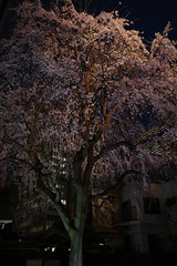 ji Temple Sakura blossoms 12 (HAMACHI!) Tags: tokyo 2019 japan ricoh ricohimaging ricohgr ricohgriii ricohgr3 gr3 griii gr weepingcherry 常圓寺 joenjitemple sakura cherryblossoms cherryblossom cherry night nightscene nightscape nightview lightup flower