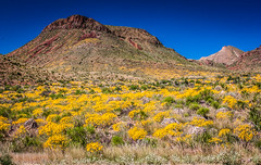Covered in Gold-5782 (miss_betty2012 (not available much)) Tags: bigbend bigbendnationalpark chihuahuandesert chisosmountains desert flora flowers internationalborder landscape mountains nationalpark outdoors park rugged spring tx texas usa westtexas wildflowers