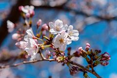 Cherry blossoms (Yoshino cherry, Prunus yedoensis) : 桜花(ソメイヨシノ) (Dakiny) Tags: 2019 spring april japan kanagawa yokohama aoba aobaku aobaward