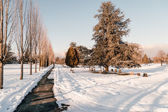 Vancouver-Winter-Walks-23 (_futurelandscapes_) Tags: vancouver winter snow cold february mountainview cemetery trees arboretum sunset evening graves sunny blue white vintage