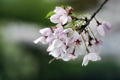 Vancouver 温哥華 (syue2k) Tags: british columbia 不列顛哥倫比亞省 canada vancouver 温哥華 cherry blossom season 樱花季節 sakura