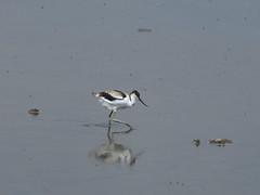 Avocet (Artybee) Tags: avocet avoset wading bird middleton lake rspb reserve