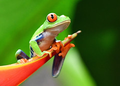 DSC_7704 PS1 (Christopher Lane Photography) Tags: costa rica vacation central america beauty beautiful tropical exotic beach la paz waterfall gardens redeyed tree frog colorful leaf amazing