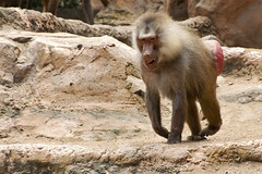 Baboon (Synghan) Tags: baboon baboons monkey macaque animal primate ape frontview movement walking nature natural wild wildlife zoo zoological park vivid sharpness singaporezoo singapore telephoto magnified photography horizontal outdoor colourimage fragility freshness nopeople foregroundfocus adjustment interesting awe wonder fulllength depthoffield tranquility peace ground lowangle hairy nose canon eos80d 80d tamron 18270mm f3563 개코원숭이 원숭이 동물 싱가포르 동물원