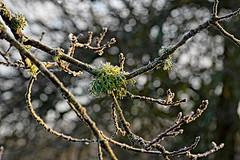 (vieubab) Tags: arbres bois branchage branches bokeh calme extérieur forêt feuille feuillage flouartistique hiver luminosité lumière macro matière nature lichen