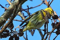 Siskin in Alder (Roy Lowry) Tags: alder siskin carduelisspinus spinusspinus