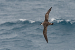 Great Shearwater (Tim Melling) Tags: puffinus gravis great shearwater south atlantic falkland islands timmelling ardenna
