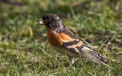 Brambling (kevinclarke1969) Tags: brambling finch garden bird feeding seed wintering clipstone notts