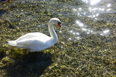 Swan @ Petit Port @ Annecy-le-Vieux (*_*) Tags: sunny february afternoon winter hiver 2019 europe france hautesavoie 74 annecy annecylevieux savoie lacdannecy lakeannecy petitport lac lake animal bird swan cygne