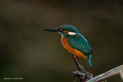 Afterglow reflected in the eye (Otterhaus) Tags: japan bird wildbird commonkingfisher alcedoatthis カワセミ 翡翠
