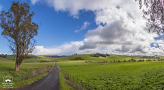 An Early Spring View (allentimothy1947) Tags: broomfieldroad california eucalyptus eucliptictrees landscape otherkeywords sonomacounty blue cattle clouds fence grass gravel green hills light mustard pano road shade sky trees white