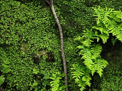 P1060056 (Hiker Bob) Tags: 20190220 bryophytes ferns liverwort meanderthals sangabrielmountains sangabrielriver westfork