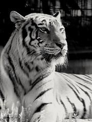 Con hổ Trắng Đen    #日本#鹿児島#虎#動物写真#動物園 #ベスト写真 #japan#kagoshima#tiger#animal#zoo#newstyle #Canon#tamron (giuse.quangtuan1) Tags: newstyle 動物写真 japan 日本 tiger tamron 虎 ベスト写真 canon kagoshima 鹿児島 animal 動物園 zoo
