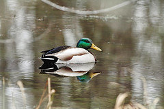 Mallard reflection (f.tyrrell717) Tags: mallerd bird white bogs jersy pine barrens