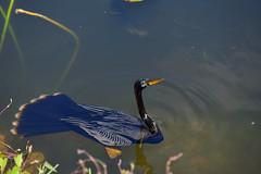 DSC_20190222 (78)_00001conv2 (Josée Ferland) Tags: eveglades floride oiseau