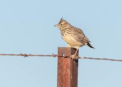 Thekla's Lark (tickspics ) Tags: theklaslark birds spain europe extremadura magascaplains alaudidae galeridatheklae
