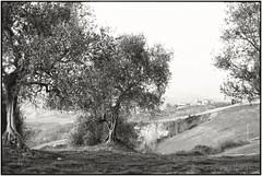 Reposting_Bella Toscana_Leica M4 (ksadjina) Tags: 24x36 crete italy kodak100tmax leicam4 leitzsummicronm50mmf12 nikonsupercoolscan9000ed rodinal silverfast toscana analog blackwhite film scan