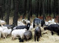 Le troupeau du Conservatoire des races d'Aquitaine