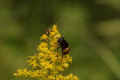 DSC_6692 (Hachimaki123) Tags: 所沢航空記念公園 tokorozawaaviationmemorialpark 日本 japan 所沢市 埼玉県 所沢 tokorozawa saitama animal insect insecto 虫 動物