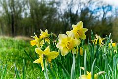 Spring Daffodil (enneafive) Tags: daffodil flower yellow green trees grass naturereserve overbroek sinttruiden belgium fujifilm xt2 affinityphoto