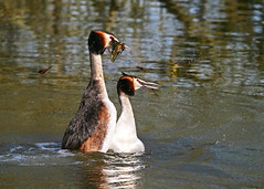The Courting Dance (Nigel B2010) Tags: courting dance grebe great crested water lake bird reserve nature attenborough nottinghamshire march spring