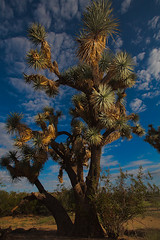 Joshua Tree (Ed Cheremet) Tags: az93 arizona arizonasunrise cactus genre joshuatree landscape moments nature subject sunrise cholla clouds edcheremet edszeremet edszeremetgmailcom httpedcheremetartistwebsitescom me