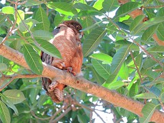 Ninox rufa rufa 1 (ntfafl) Tags: charles brown botanical gardens darwin nt barry m ralley barrymralley