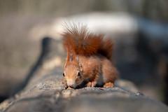 I love hazelnuts (Joachim Dobler) Tags: eichhörnchen eichhoernchen squirrel écureuil ardilla scoiattolo equito nature natur nagetier wildlife animal cute naturephotography squirrellove wildlifephotography bestsquirrel nutsaboutsquirrels cuteanimals