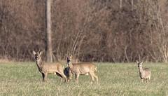 Chevreuils - Roe deer (dom67150) Tags: animal capreoluscapreolus chevreuil herbsheim nature ried roedeer wildlife
