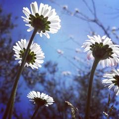 springtime (rob_ello) Tags: springtime primavera insectview margherite daisy natura nature huawei p10