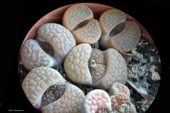 E fanno capolino le nuove  Lithops (Paolo Bonassin) Tags: cactaceae cactacee cactus succulente lithops
